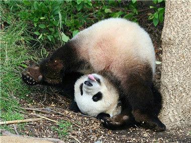 【蠢萌纪录片】爱上大熊猫